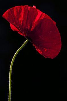 Poppy by Jeroen Stekelenburg on 500px