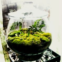 Moss and fern terrarium DIY  layer rocks, potting soil and buy a miniature variety of fern. Plant fern. Collect moss. Press moss firmly into soil around fern, it will spread and grow in time! Keep thoroughly misted.