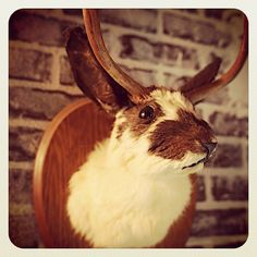 "Just hung our North American Jackalope. A shy and ever-elusive critter, it has been said that the jackalope can convincingly imitate any sound, including the human voice. It uses this ability to elude pursuers, chiefly by using phrases such as ""There he goes! That way!"" During days of the Old West, when cowboys gathered by the campfires singing at night, jackalopes could often be heard mimicking their voices. We're stoked to have such a truly prized possession. Who wants name bragging…"