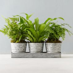 """Planted in a convenient pot and tray pairing, this trio of ferns adds a burst of vivid green to container gardens.- Ferns, metal container, soil, moss- Drainage hole not included- Indoor or outdoor use in mild climates- Prefers medium-to-full, indirect sunlight; do not place in direct sun- Grows best with 60-75F temperatures- Fern varieties will vary based on availability- Plants: USA; Container: Imported12""""H, 12""""W, 14""""LOnline Exclusive"""