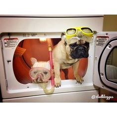 """""""Uhmmmm....Joe, I Think We Swam Out Too Far"""", Confused French Bulldogs."""