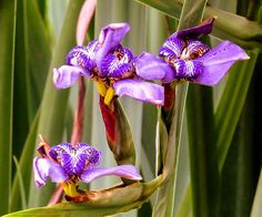 Title  Irises  Artist  Zulfiya Stromberg  Medium  Photograph - Photography, Photographs