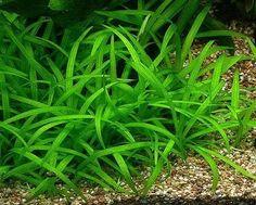 Planta Acautica Sagitaria Subulata Tapizante