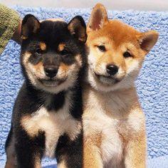 shiba inu puppies - Google Search