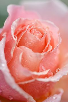 One of my favorite flowers.the beautiful rose
