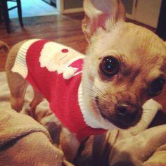 #christmas #chihuahua