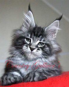 Котята Мейн Кун - B3 2014 Питомник кошек породы Мейн Кун Страна Гулливеров (Country Gullivers) Мейн кун котята, мейн кун кошки, мейн кун коты для вас. Самая крупная кошка мейн кун в доме. Ласковый и нежный гигант.