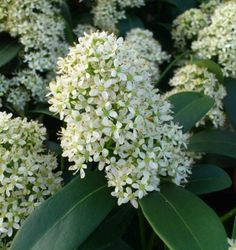 Skimmia_japonica_'Finchy' evergreen shrubs for the garden