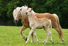 Le cheval de race Haflinger est originaire de la région du Tyrol en Autriche. Ce cheval doit son nom d'un village Tyrolien nommé Haflinger.En 1898 le nom de la race Haflinger est of