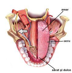 The lingual nerve is a branch of the mandibular division of the trigeminal nerve… Humor Dental, Dental Facts, Dental Hygienist, Dental Assistant, Dental Implants, Dental World, Dental Life, Dental Health, Dental Pictures
