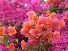 Bougainvillea -- i want one in the peachy orange color but locally ever only see them in hot pink =