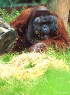Orangutan.  Photo by Daniel Beltra