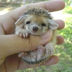 Tiny Porcupine