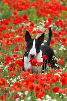 Poppies and a lovely bully.....