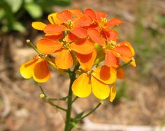 Sanddune Wallflower (Western Wallflower)