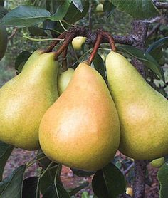 European Pear, Sunrise.Flavor is extra sweet. Fruits keep for 2-3 months.