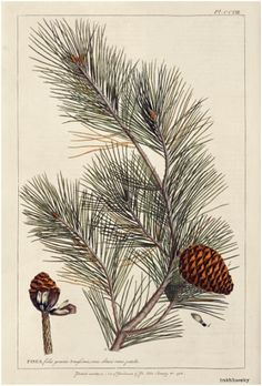 Pine illustration