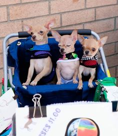 Love these chihuahuas!