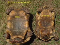redfoot tortoise male and female