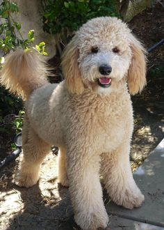 In this article, we will be discussing Goldendoodle grooming. We will outline the most important steps on how to groom a Goldendoodle, and we will even touch a little bit on Goldendoodle grooming styles. Chien Goldendoodle, Goldendoodle Haircuts, Goldendoodle Grooming, Bernedoodle Puppy, Dog Haircuts, Dog Grooming, Goldendoodles, Labradoodles, Cockapoo Haircut