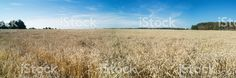Panorama of a wheat field. http://www.istockphoto.com/gb/photo/panoramic-view-of-golden-wheat-field-by-summertime-gm482998716-70645121?st=_p_wheat #istockphoto #field #panorama #wheat #agriculture #bread #summer #microstock #stockimages