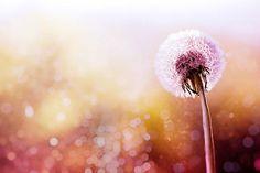 Dandelion photography fine art botanical by mylittlepixels on Etsy
