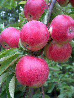 Dessert Apples :  Apple Tydeman's Early Worcester