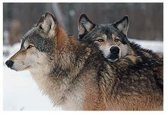 Google Image Result for http://media.moddb.com/images/groups/1/5/4573/cwc-wolves.jpg