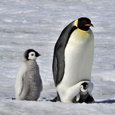 Penguin Animals, Penguin Love, Baby Animals, Cute Animals, Animal Babies, Coldest Place On Earth, Baby Penguins, Sea Birds, Animal Cards
