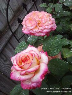 Dream Come True - Grandiflora from our garden