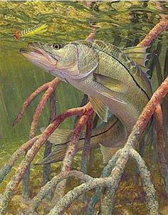 snook under mangroves - Google Search