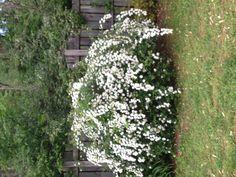 Looks like a variety of snowball bush.