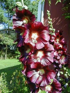 Hollyhock  (Alcea rosea - It is a popular opinion that only the single bloom varieties are old, but double hollyhocks have been around for centuries.)