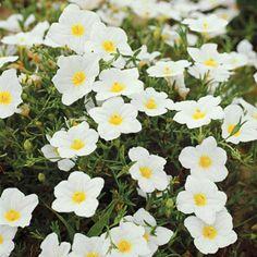 die schönsten weißen blumen im garten anbauen Kriechender Weißbecher