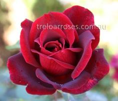 Papa Meilland - Dark velvet red, exhibition blooms of very strong fragrance. A good and very popular rose.  One of the World's all-time favourite roses, inducted into the Rose Hall of Fame in 1988.