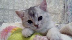 みんなの子猫ブリーダー アメリカンショートヘア 男の子 シェーデットシルバー 2015/03/15生まれ 東京都 子猫ID:1505-00531 ※抱っこ大好きです(^.^)♡