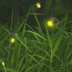 Firefly season!!! Twilight, Catching Fireflies, Blink Blink, Fireflies Meme, Chasing Fireflies, Firefly Tattoo, Lighting Bugs, Vers Luisants, Bugs And Insects