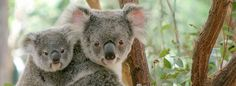 Only from Brisbane City, Lone Pine Koala Sanctuary is the world's first and largest koala sanctuary with over 130 koalas. Hold a koala anyti Baby Koala, Baby Sloth, Koala Bears, Baby Wombat, Lone Pine Koala Sanctuary, Baby Animals, Cute Animals, Wild Animals, Funny Animals