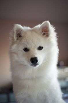 American Eskimo Dog Looks exactly like you, Mandy. Miss you every single day babygirl. Hope you're being good in heaven <3
