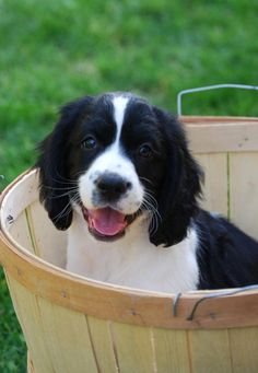 Miss Mia, one of my English Springer Spaniel pups now owned and photographed by Heather Kent-Serock. Great Picture!