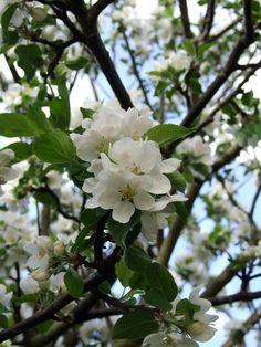#Apple tree #flowers