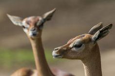 Graceful Gerenuk by Official San Diego Zoo, via Flickr