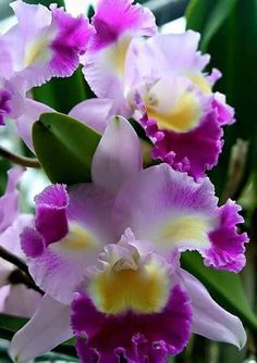 Newest Photos Exotic Flowers purple Ideas Neighborhood blooms as well as crops could be a great addition to any kind of business office or maybe kitche Unusual Flowers, Amazing Flowers, Colorful Flowers, Purple Flowers, Beautiful Flowers, Orchids Garden, Orchid Plants, Orquideas Cymbidium, Cattleya Orchid