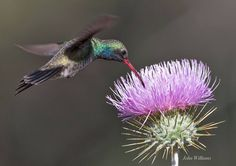Hummer feeding from thistle Photo by John Williams