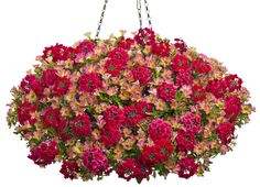 Hanging Basket 'Prairie Fire' featuring: Petunia 'Supertunia Red', Verbena 'Superbena Royale Peachy Keen' and Sweet Potato Vine 'Illusion Garnet Lace' Container Flowers, Container Plants, Container Gardening, Succulent Containers, Hanging Flower Baskets, Hanging Plants, Petunia Plant, Petunia Flower, Prairie Fire