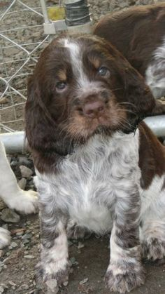 """European"" English Springer Spaniel puppy. Want."