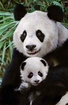 De voortplanting van de Pandabeer  In het algemeen wordt er maar één jonge panda geboren. Dat gebeurt tegen het begin van de herfst, meestal in september. De draagtijd(zwangerschap) duurt tussen de vier en ruim vijf maanden. Als die tijd ongeveer verstreken is, zoekt het pandavrouwtje een oude, holle boom op. Daarin brengt ze haar jong ter wereld. Bij zijn geboorte is een panda maar 15 tot 17 centimeter lang. Hij weegt maar 90 tot 120 gram.