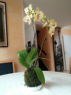 Big orchid Kokedama