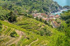 Vineyard in the Cinque Terre
