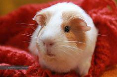 My guinea pig SIGFRID - by Marie-Sophie Germain www.mariesophiegermain.com